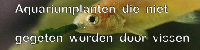 aquariumplanten die plantetende vissen niet eten
