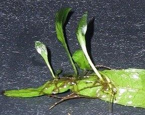 jonge plantjes javavaren.
